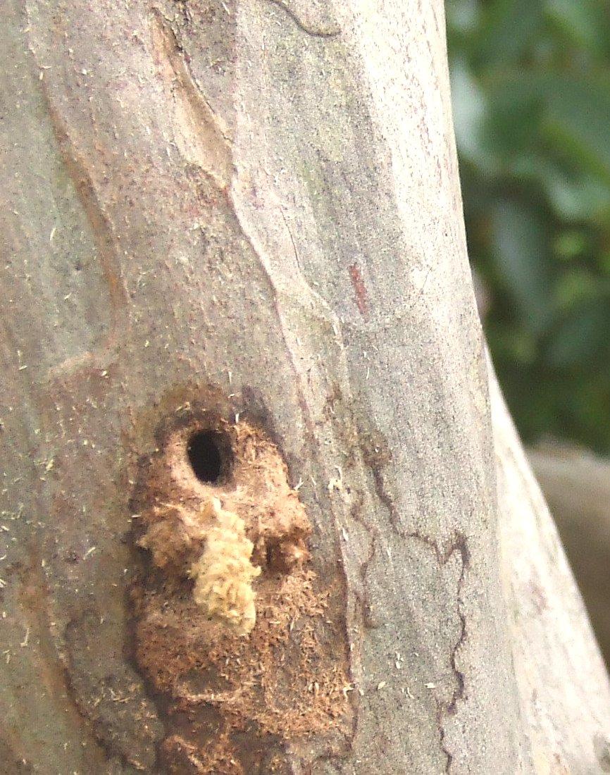 成虫も幼虫も生木を食し、成虫は5,9月に生木をかじって産卵し、ふ化した幼虫は木に穴を空け1,2年間潜り込み、木質部を食害して成長するので、浸入した木は枝が枯れ